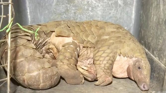"""""""Najczęściej sprzedawane zwierzę w Azji"""" odbite z rąk przemytnika"""