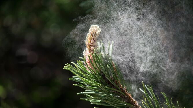 Naukowcy: jest zależność między stężeniem pyłków w powietrzu a liczbą zakażeń SARS-CoV-2